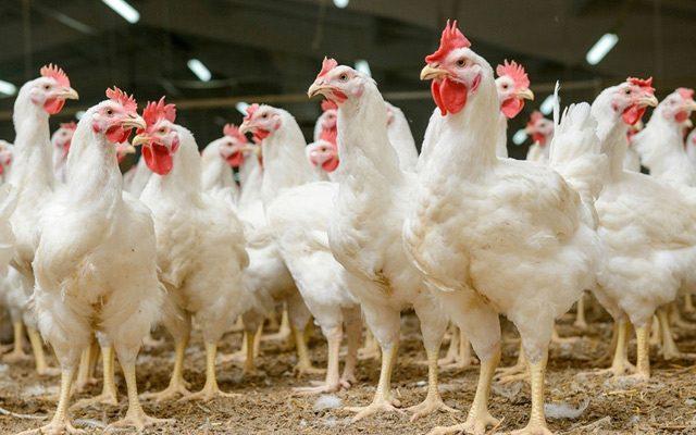 O que são probióticos para aves