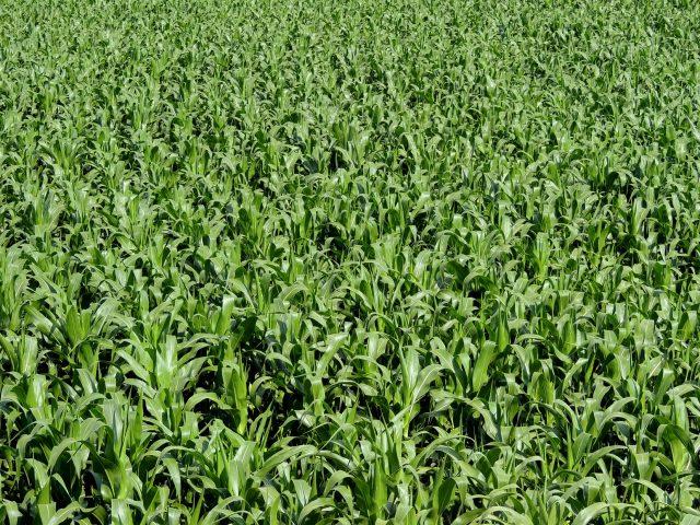 etanol de milho - plantação