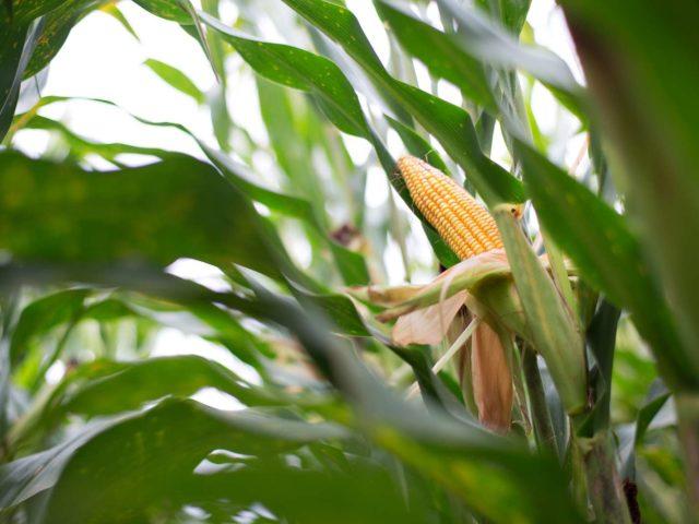 Milho - etanol de milho