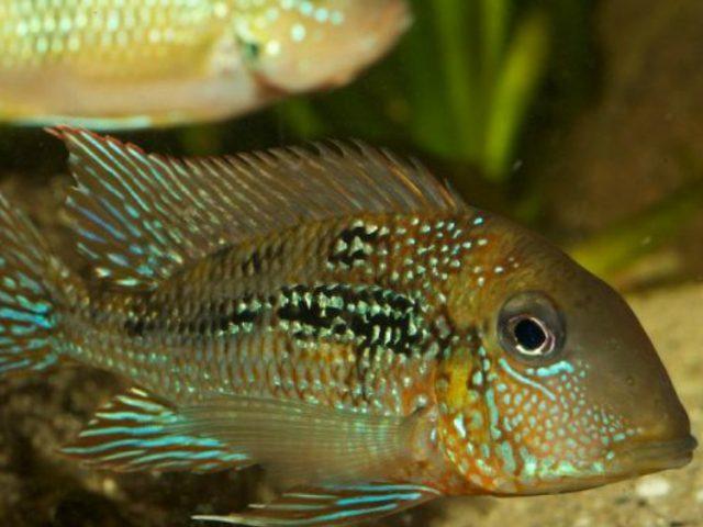 Pesquisa identifica mais de 90 novas espécies de peixes na Amazônia