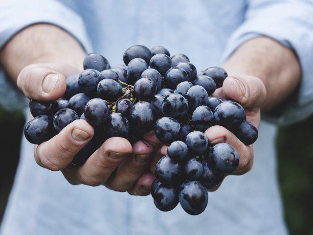 uvas - vinhos