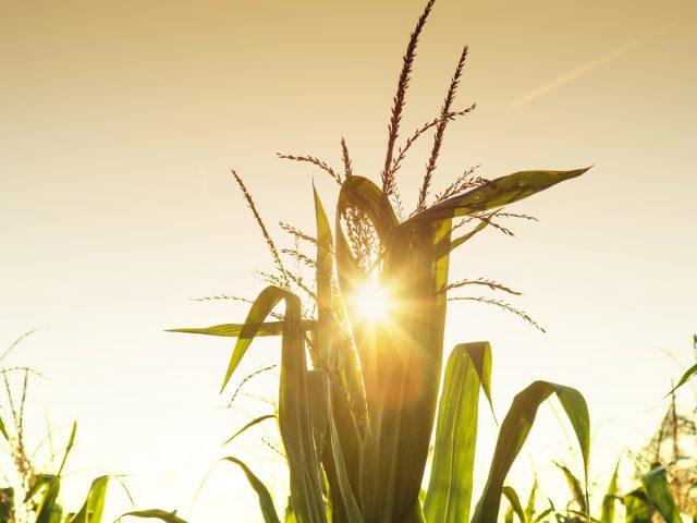 Três maneiras de obter mais de seu milho