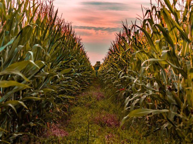 Etanol celulósico: uma alternativa para aumentar a produção de biocombustíveis