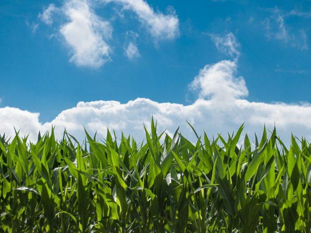 Agricultores brasileiros se unem a cientistas nucleares em prol do adubo verde