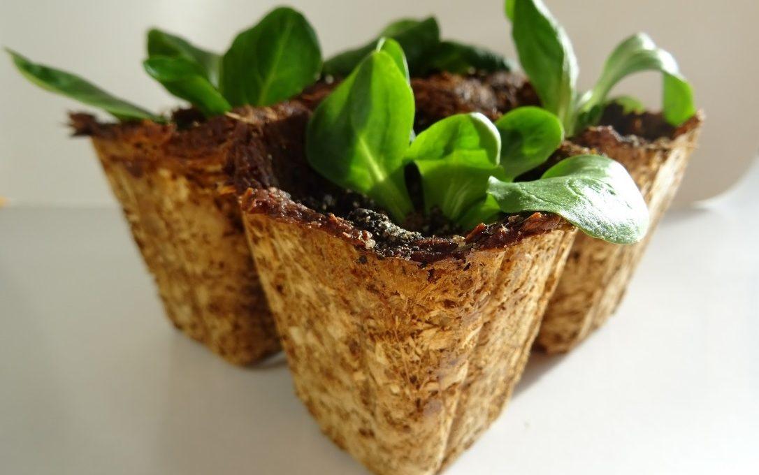 Empresa cria vasos biodegradáveis a base de fungos