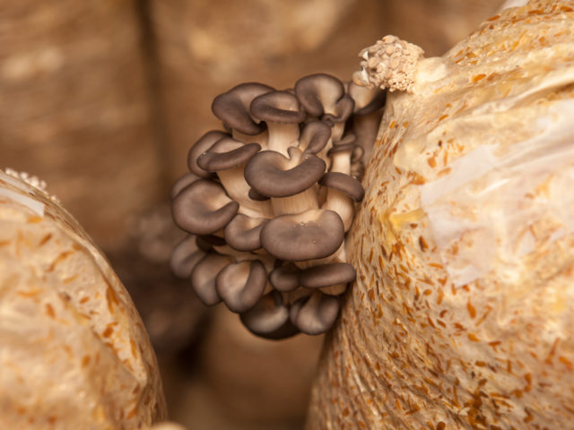 Podemos comer fungos? Conheça os cogumelos comestíveis!