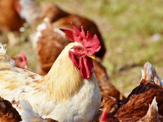 Nova enzima ajuda os criadores de aves a produzir mais com menos ração