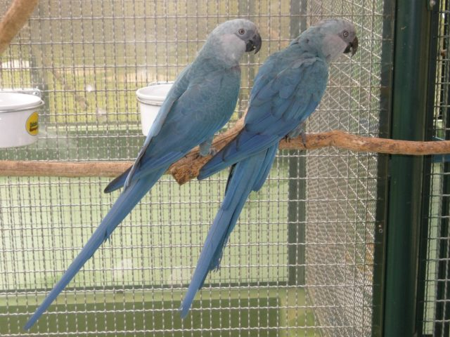 Quatro aves brasileiras estão declaradas extintas