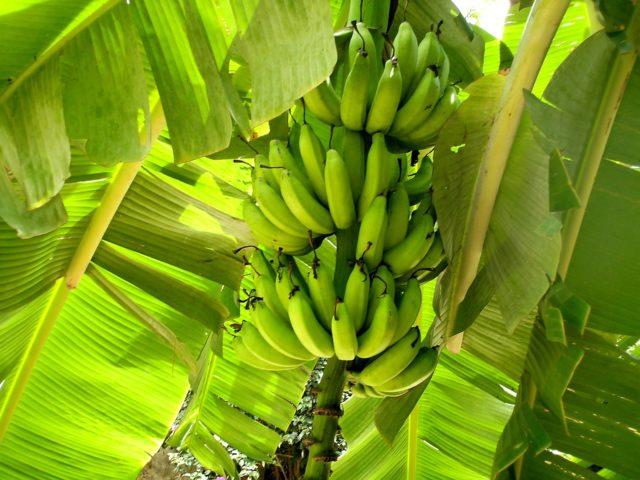 Equatoriana usa restos de banana para purificar água poluída na Amazônia