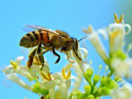 abelhas sugando néctar com pólen no corpo